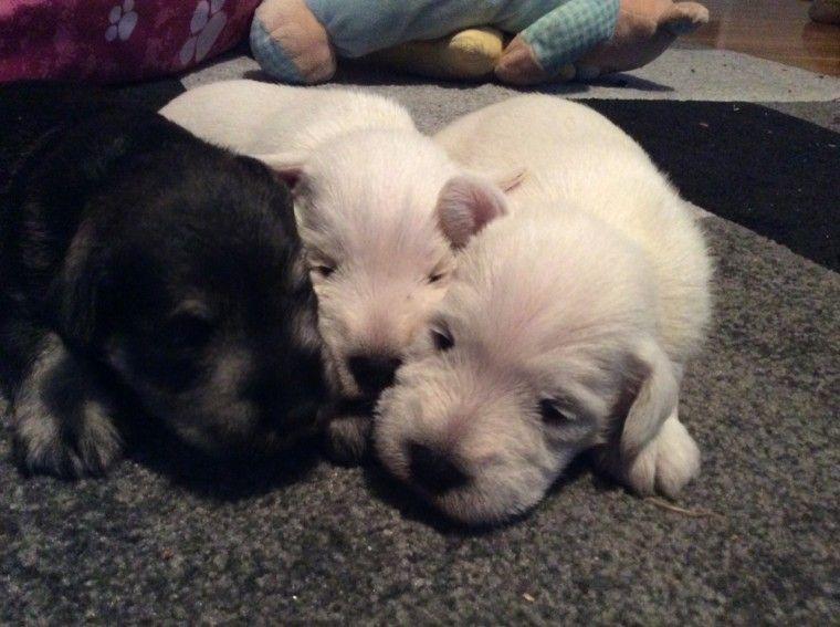 Minature Schnauzer Puppies For Sale En 2020 Chien