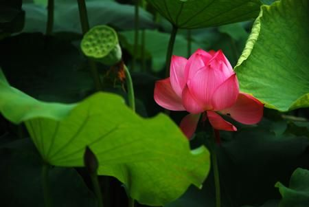 Lotus flower meaning and significance all over the world lotus lotus flower meaning and significance all over the world mightylinksfo