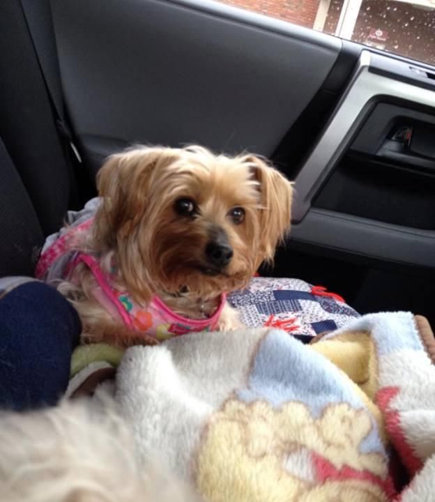 Adopt Bella on adopt me Please!!!!!!♡♡♡♡♡ Yorkshire