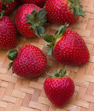 Strawberry Evie 2 Strawberry Plants Fruit Plants Berry Plants