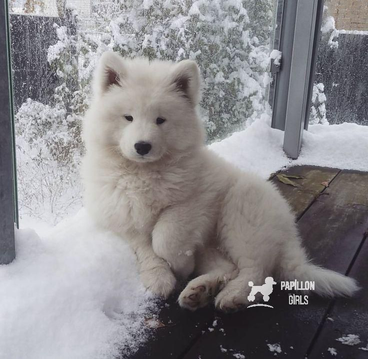 I think this is a Samoyed puppy.  I used to help a (breeder) neighbor when I was…    I think this is a Samoyed puppy.  I used to help a (breeder) neighbor when I was a kid, by cleaning up the dirty newspapers in the bedroom where she raised them.  Sad now .      I think this is a Samoyed puppy.  I used to help a (breeder) neighbor when I was...