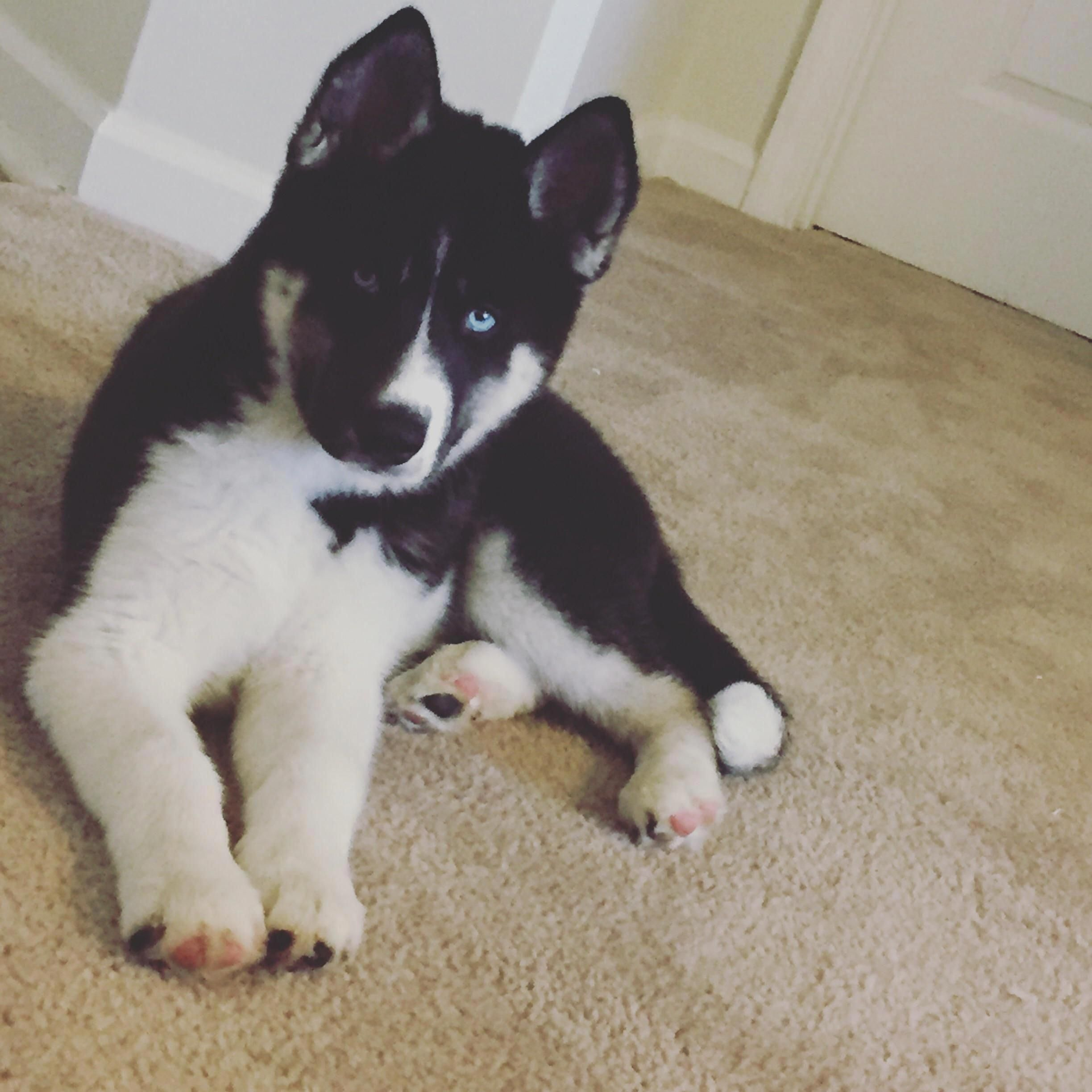 Outstanding Siberian Husky Puppies Information Is Offered On Our