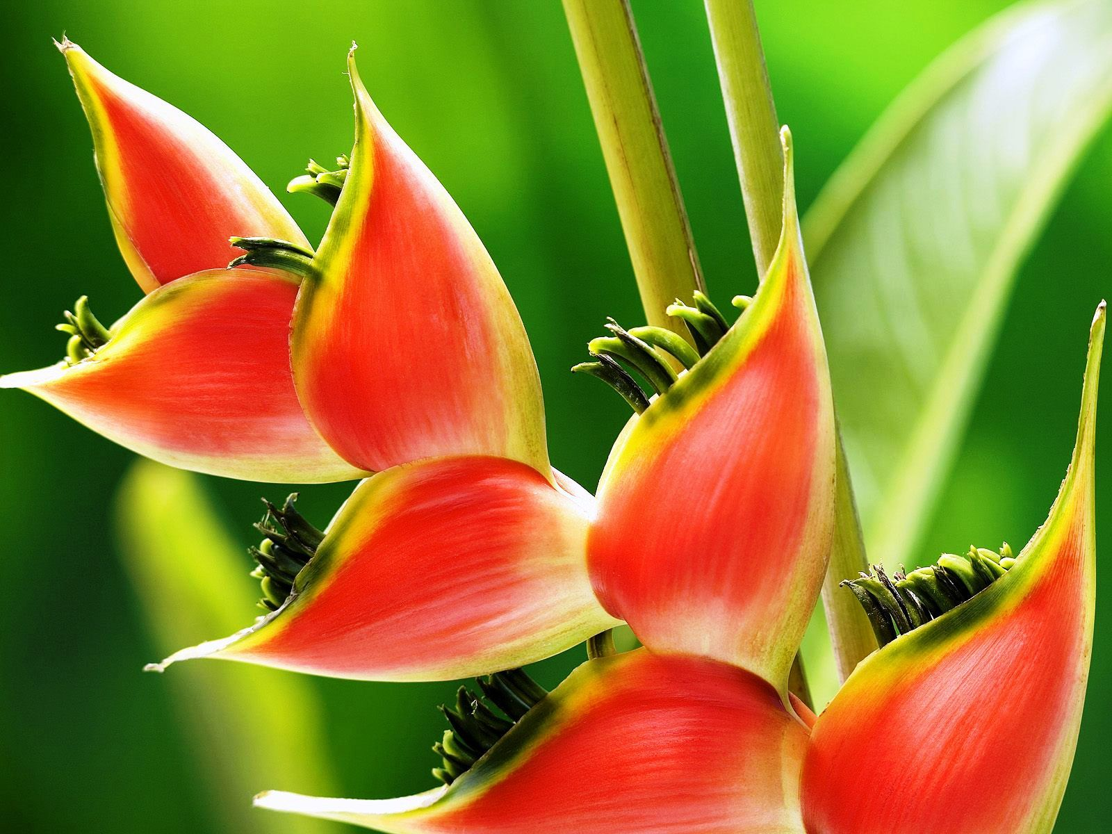 Heliconia bazaar for mom pinterest ginger plant plants and here we share information about rattlesnake a rare tropical flower species this flower attracts hummingbirds and other pollinators izmirmasajfo Images