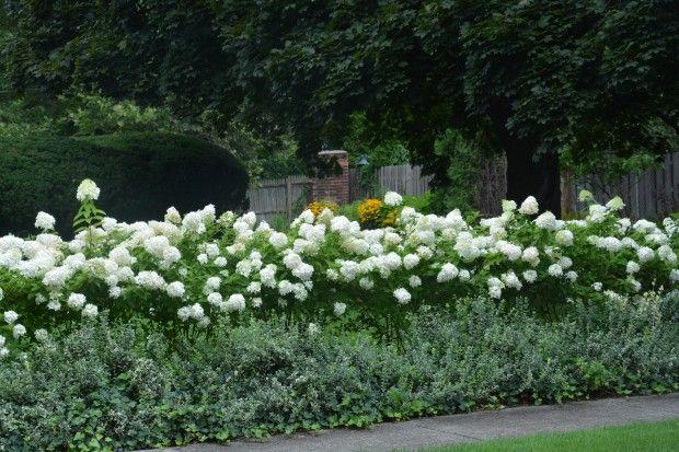 Limelight Hydrangeas In Bloom Dirt Simple Hydrangeas Garden Design Hydrangea Garden Hydrangea Landscaping