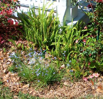 Rain garden installed at bottom of downspout a year later ...