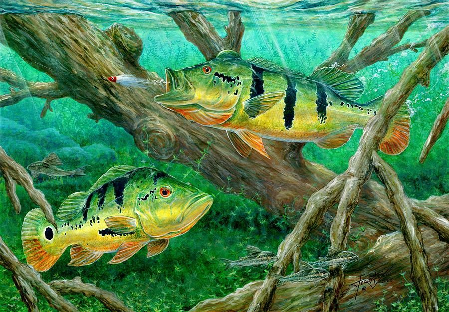 Catching peacock bass pavon peacock bass and bass fishing for Bass fish painting