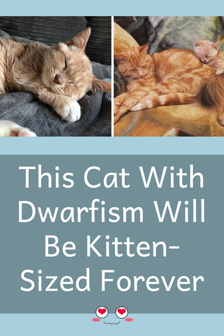 This Cat With Dwarfism Will Be Kitten Sized Forever In 2020 Cats Kittens Dwarfism