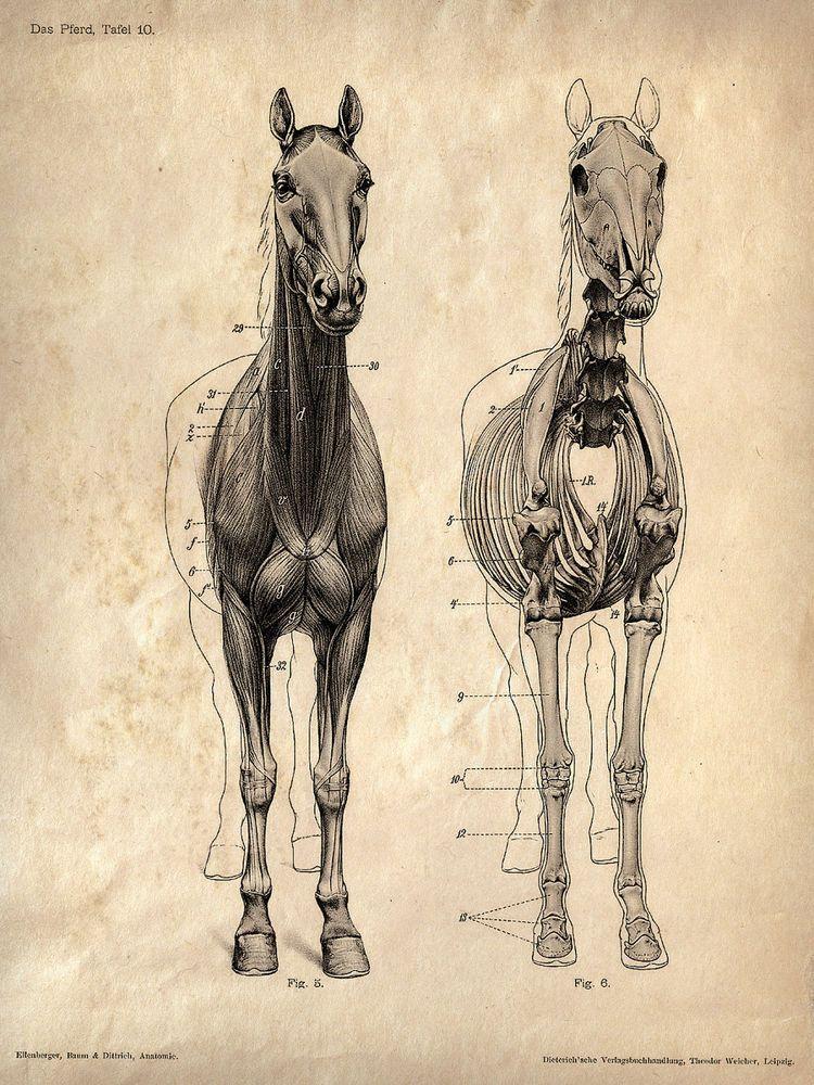 Framed Vintage Veterinary Print – Horse Skeleton (Picture Poster Art ...