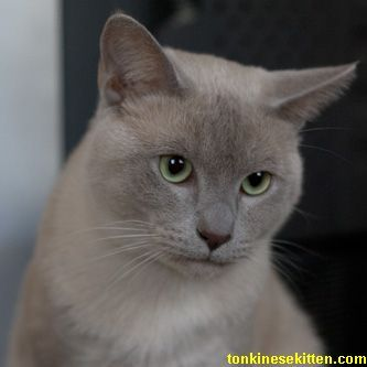 Tonkinese Cat Affectionate Low Shedding Breed Tonkinese Cat Cats Burmese Cat