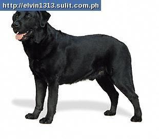 Lab Chow Cross Chowlab Puppies Chow Chow Cross To Labrador For Sale Philippines Labrador Labrador Retriever American Labrador