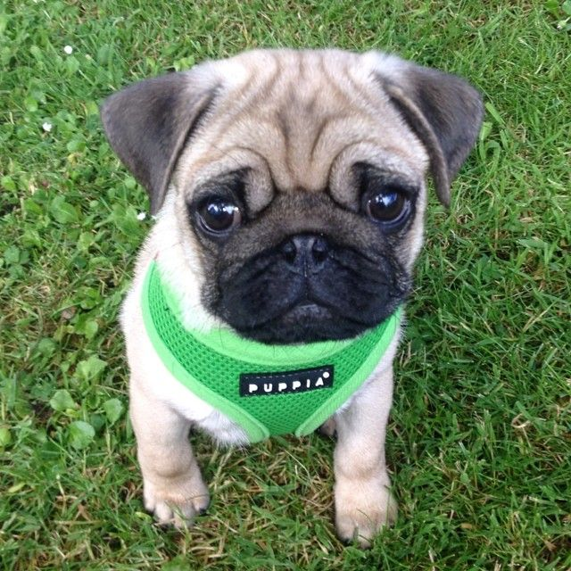 Puppia Green Harness At Www Ilovepugs Co Uk Pug Puppies Cute Pugs