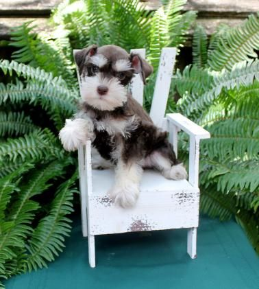 Texas T S Claire Max Litter Miniature Schnauzer Puppies Schnauzer Puppy Schnauzer Breed