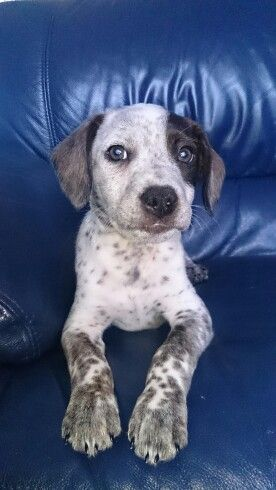 Beagle Blue Heeler Cross Puppy Cute Animals Hybrid Dogs Baby