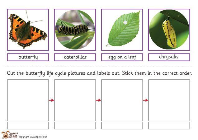 Science Erfly Life Cycle Worksheets on Kindergarten Erfly Worksheet For Sequencing