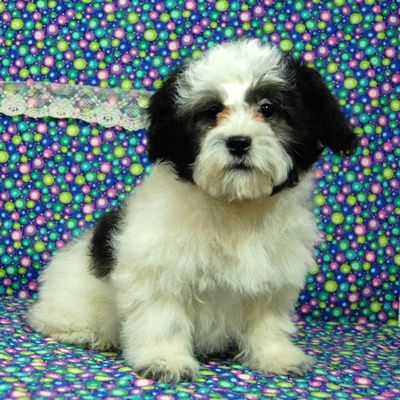 Zuchon Puppies For Sale Massachusetts Zuchon Puppies For Sale