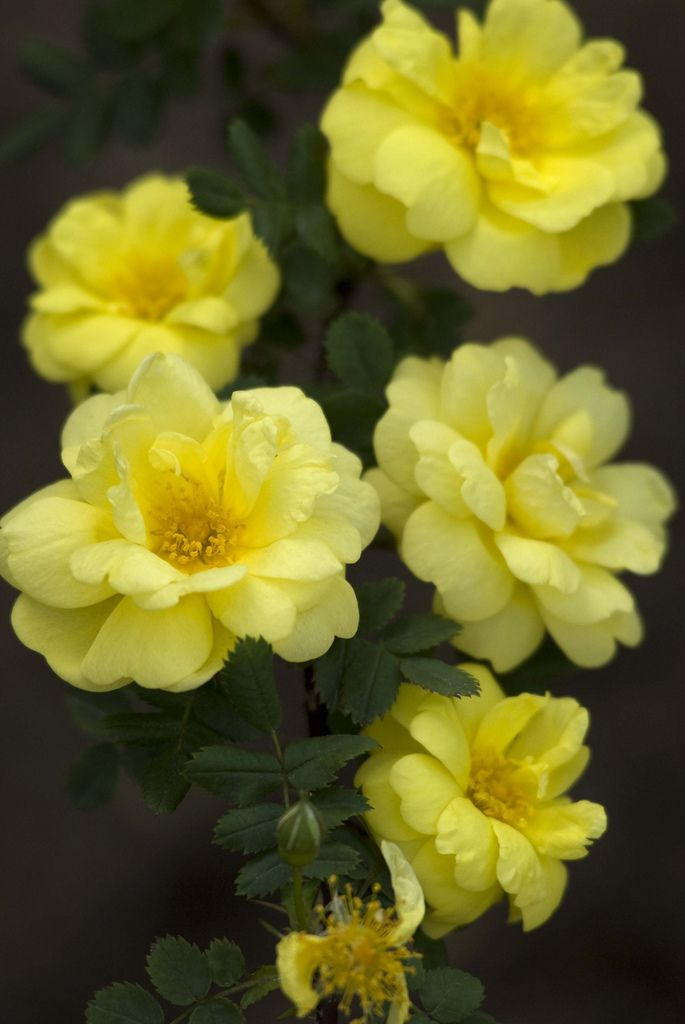 Hybrid Pinosissima Rose With Images Rose Varieties Shrub Roses Beautiful Flowers