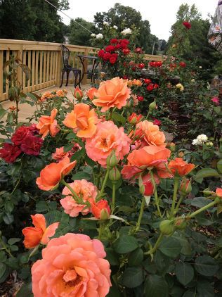 """Beautiful Roses on the Back Deck viaGaga's Garden  2) You left too much in the center  As gardening pro Douglas Hunt explains, """"the goal of pruning a rose bush is to produce an open centered plant"""". Pay attention to stems or canes that crisscross, as well as any weak canes growing towards the center"""