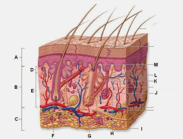Blank Skin Diagram Anatomy Picture Reference And Health News Integumentary System Skin Anatomy Human Integumentary System