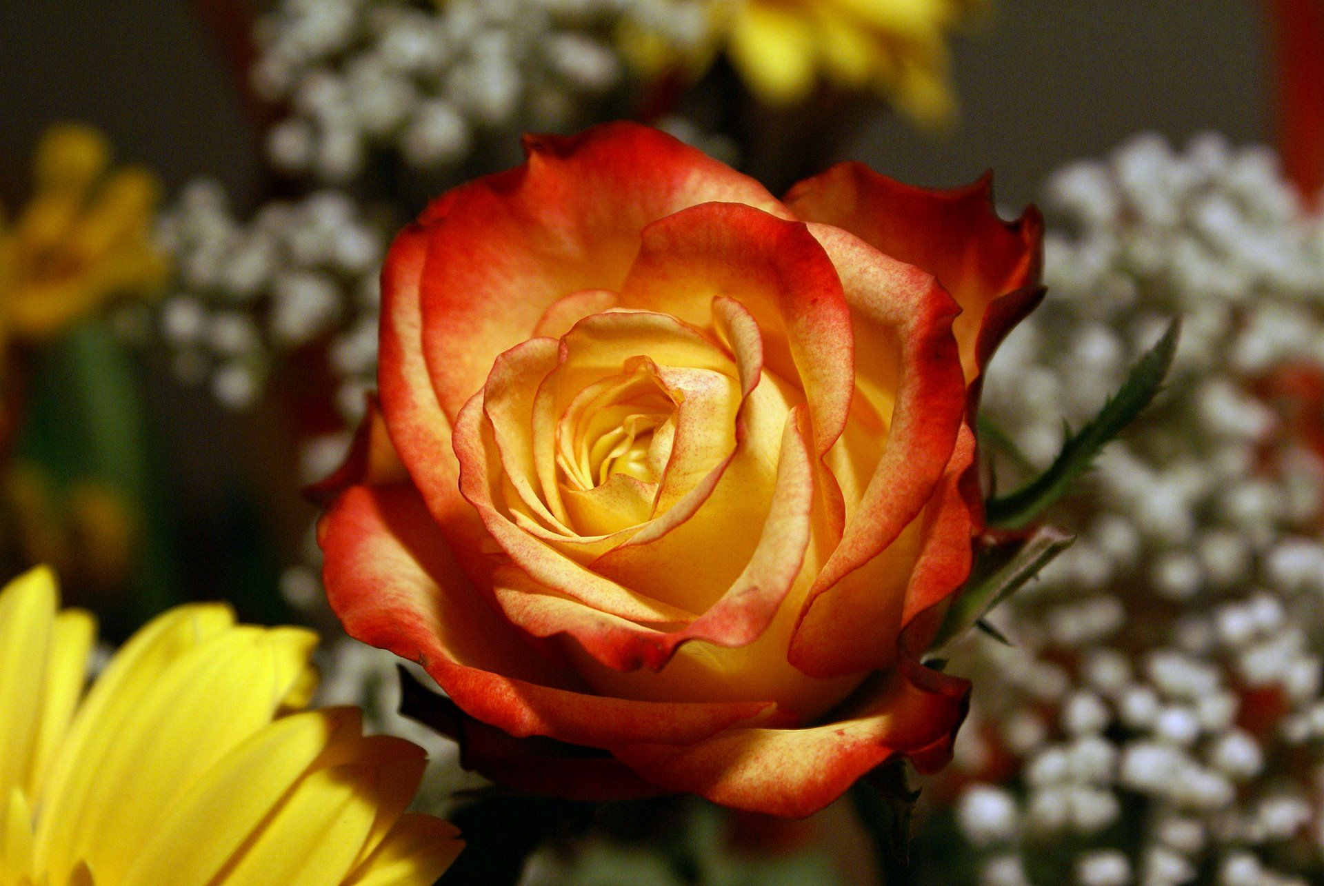 photo Yellow red Flamed Rose