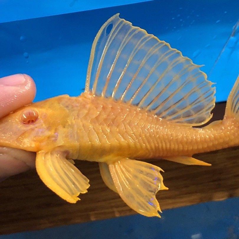 Albino Gibbiceps Pleco 5 6 Inch In Length Plecostomus Cool Fish Rare Fish