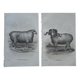Antique Sheep Lithographs - A Pair