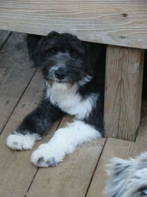 Awesome Paws Breeder Of Moyen Poodle Aussiedoodle Puppies And