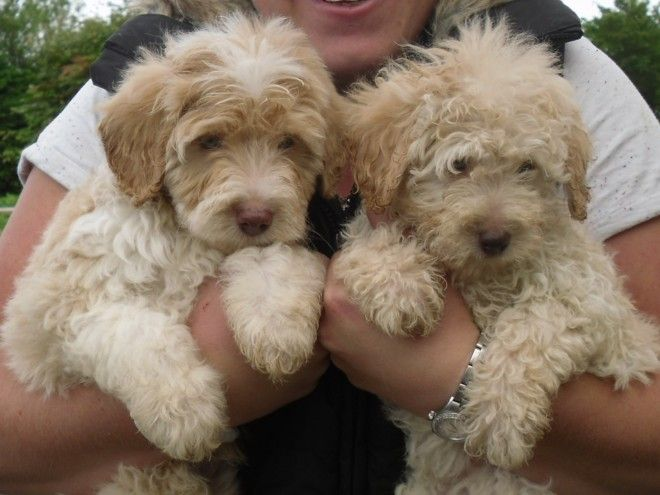 Rare Apricot Colliedoodle Puppies Bordoodles Puppies Cute