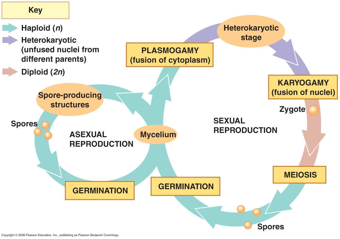 Fungi Life Cycle 3 Life Cycles Fungi Biology