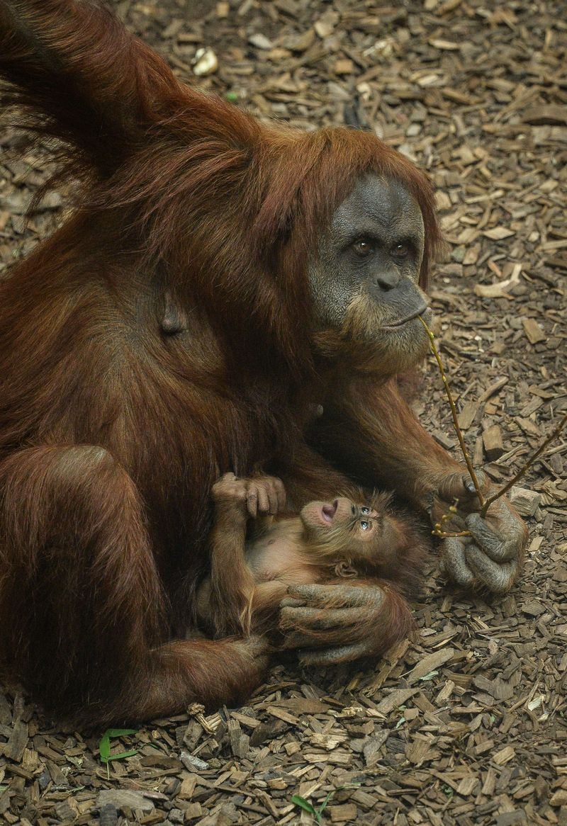 New Name for a New Orangutan at Chester Zoo Orangutan