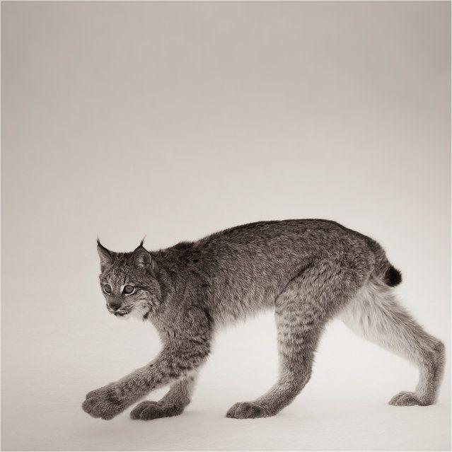 Strolling Canadian Lynx Study Small Wild Cats Wild Cat Species Cat Species