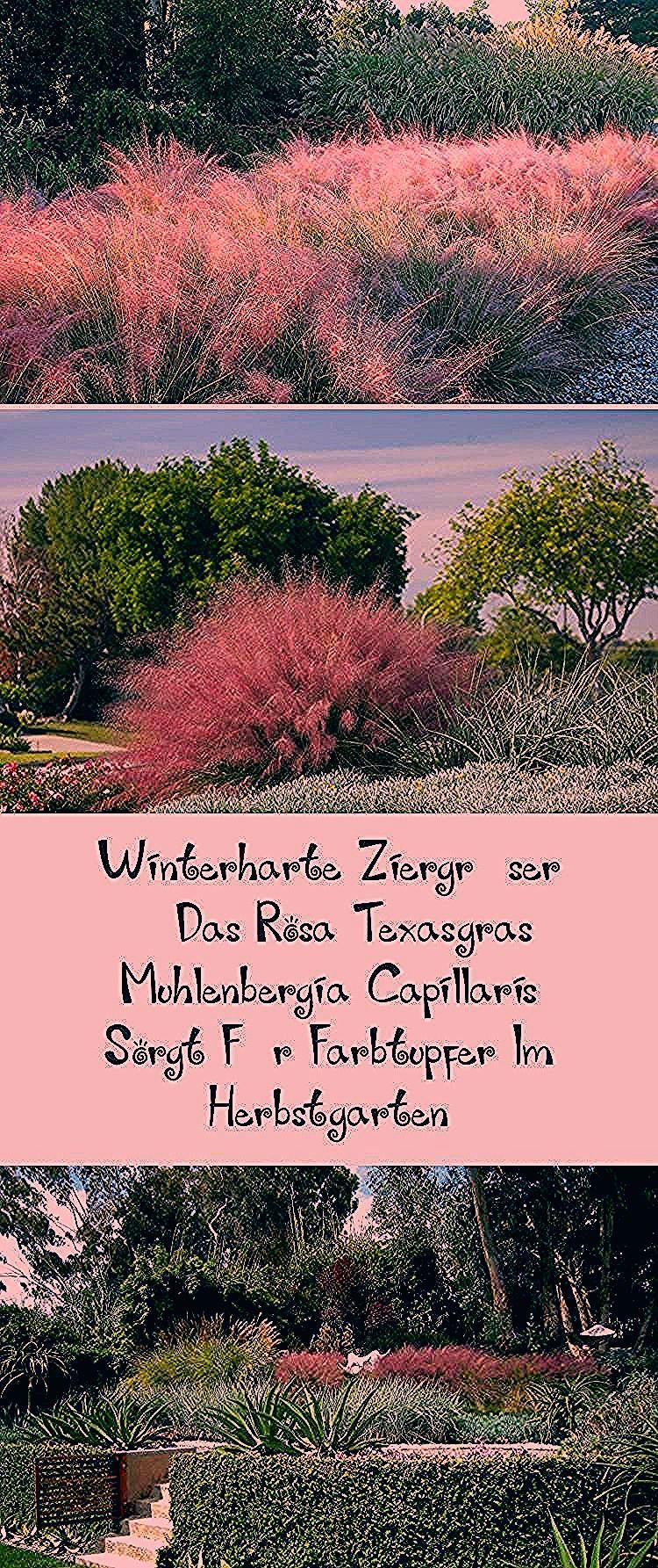 Photo of #Garten robuste Ziergräser – das rosa Texas-Gras Muhlenbergia capillaris … – Früchte im Garten