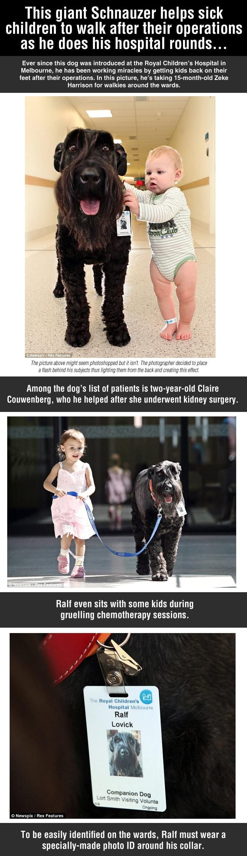 Giant Dog Helps Sick Children To Walk In The Hospital Dog Help