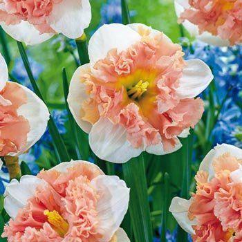 Raspberry Cream Daffodil With Images Daffodils Daffodil Bulbs