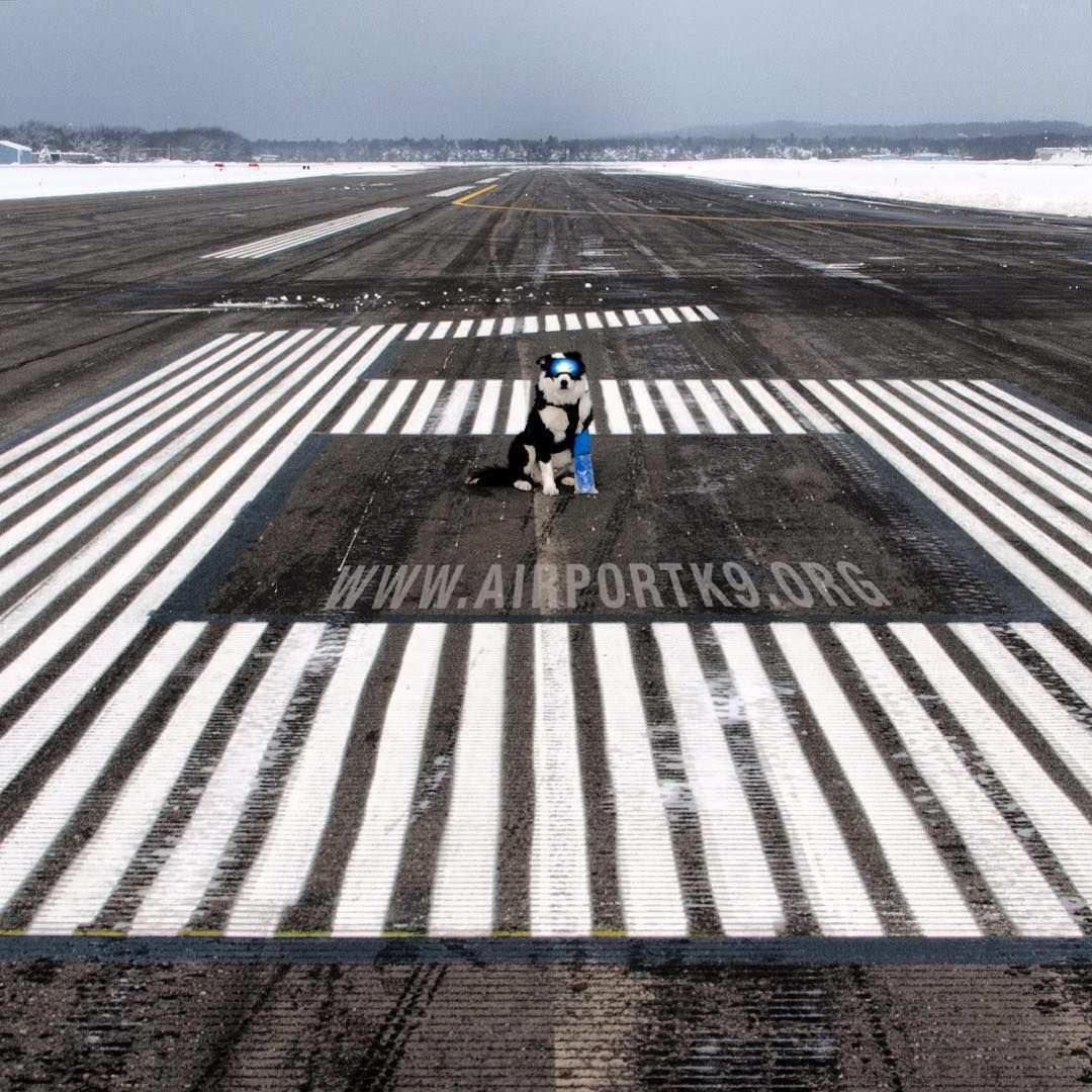 Driving on an airfield is a unique and totally different experience from flying. Here's Piper standing in the middle of the 6 on the approach end of runway 36. It's easy to forget how big the runway markings actually are. Use #47 for an Airport K-9: perspective tool  # #airportk9 #airport #k9 #k9team