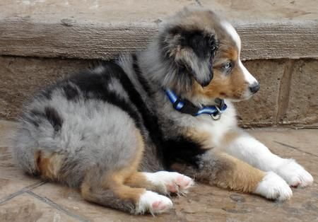 Australian Shepherd Smart Working Dog Miniature Australian