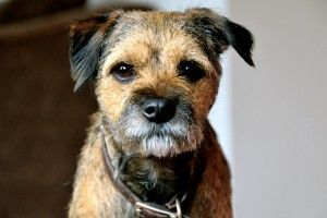 Image Courtesy Of Paul Holtby Border Terrier Border Terrier