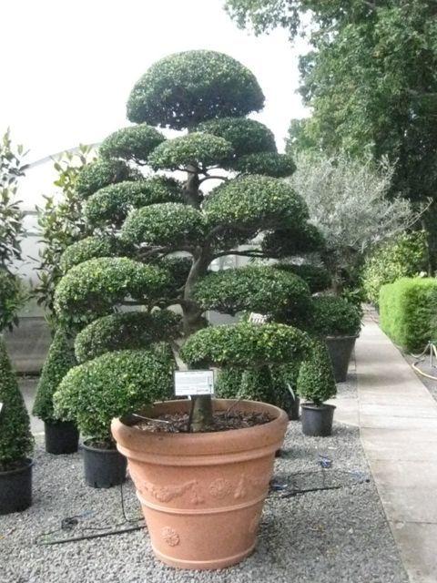 Arbres nuage japonais bonsai geant juniperus virg 39 glauca 39 acheter vos arbres chez le Jardin japonais bonsai