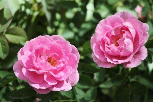 BayHouseAromatics.com Organic Bulgarian Rose Otto Hydrolat #Organic #Rose #EssentialOil #Hydrosol #OrganicRose #RoseEssentialOil #RoseHydrosol #OrganicEssentialOil #OrganicHydrosol #Hydrolat #RoseWater #RoseHydrolat #OrganicHydrolat #RoseOtto #OrganicRoseOtto