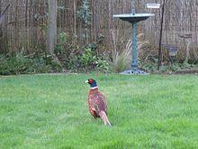 Common pheasant - Wikipedia, the free encyclopedia
