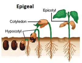 Difference Between Epigeal And Hypogeal Seed Germination Major Differences Seed Germination Germination Seeds