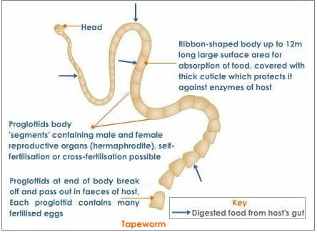 Simple Diagrams Of Tapeworm Auto Wiring Diagram Today