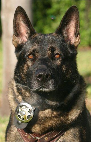 A German Shepherd K-9 who serves in Boynton Beach, Fla. - policemag.com - POLICE Magazine....