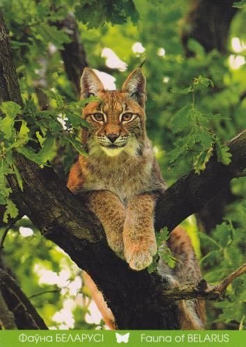 "Lynx lynx, the common species of the ""Lynx"", a wild cat living in European woods, also belongs to the fauna of Belaurus."