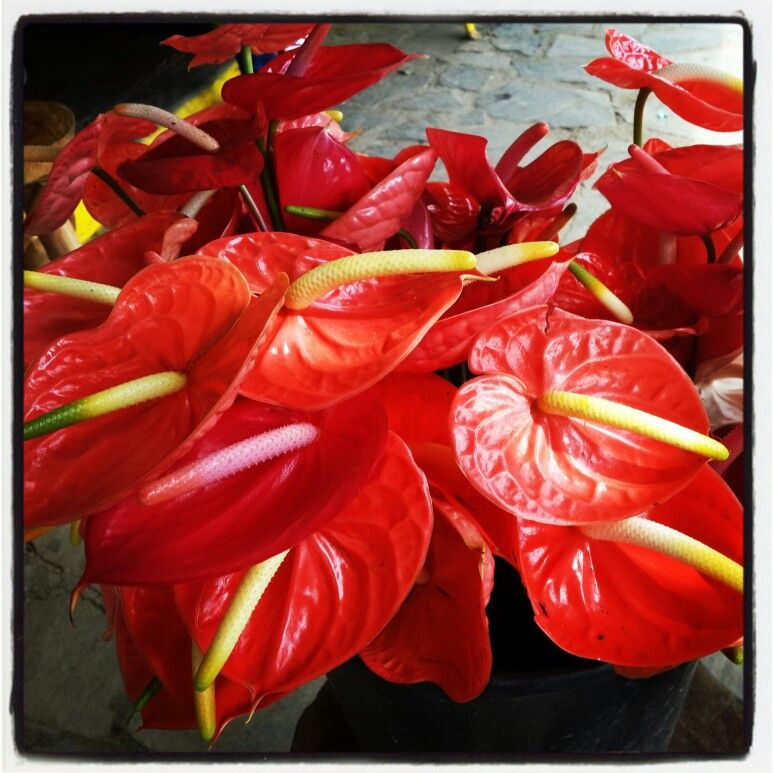 Red flower anthurium flowers orchids