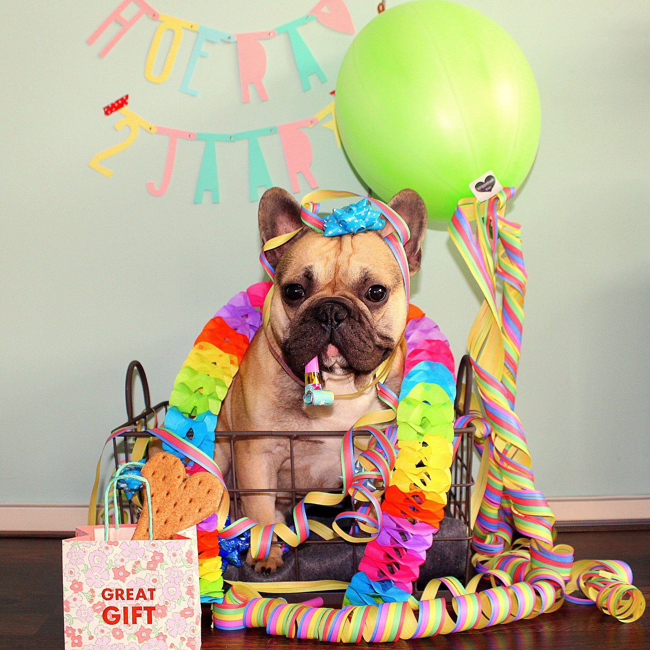 Frenchie French Bulldog Franse Bulldog Feyno S 2th Birthday