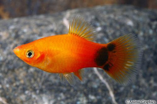 Mickey Mouse Sunburst Platy Actually More This Colour The Babies Will Be As Dad Was A Sunburst Sunset Platy And They Ar Aquarium Fish Pet Fish Tropical Fish