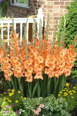 Gladiolus Olympic Flame Jpg Gladiolus Flower Gladiolus Bulb Flowers