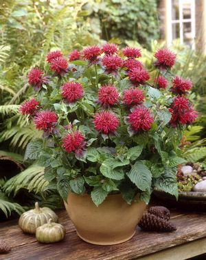 Bee Balm Monarda Fireball From Growing Colors Patio Plants Container Plants Container Gardening