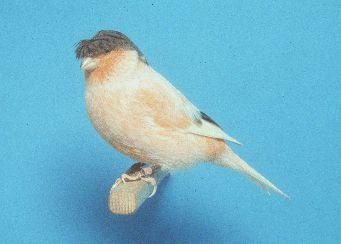 كناري الستافورد نوع جديد طور في الثمانيات من القرن الماضي عن طريق تزويج جلوستر مع الكناري ذو العامل الأحمر لذا فهو يربى للونه Animals Animals And Pets Pets