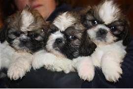 Shih Tzu Puppies Ongar Essex Pets4homes Shihtzu Honden